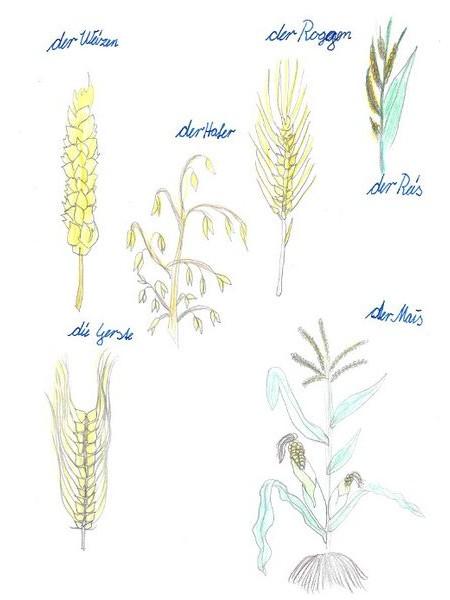 Sachunterricht, Getreide